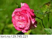 Купить «Роза чайно-гибридная Хаим Сутин (Шем Сутин, Delstricycla), (лат. Chaim Soutine). G. Delbard, Франция 1998», эксклюзивное фото № 29745221, снято 24 августа 2015 г. (c) lana1501 / Фотобанк Лори