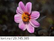 Купить «Цветок простого, однорядного георгина (Sin, Single-flowered dahlias)», эксклюзивное фото № 29745385, снято 19 июня 2016 г. (c) lana1501 / Фотобанк Лори