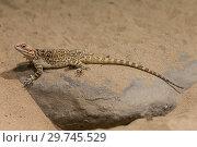 Купить «Ящерица в пустыне», фото № 29745529, снято 9 сентября 2014 г. (c) Наталья Волкова / Фотобанк Лори