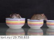 Купить «Two domestic rats», фото № 29750833, снято 23 июня 2014 г. (c) Argument / Фотобанк Лори