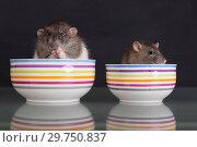 Купить «Rats in plates on a glass table», фото № 29750837, снято 23 июня 2014 г. (c) Argument / Фотобанк Лори