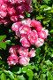 Купить «Роза почвопокровная Ангела (Анжела, Анжелика, Angelica, KORday),(лат. Angela). W. Kordes, Германия 1984», эксклюзивное фото № 29751185, снято 24 августа 2015 г. (c) lana1501 / Фотобанк Лори