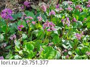 Купить «Бадан толстолистный (лат. Bergenia crassifolia) цветет весной в саду», фото № 29751377, снято 12 мая 2018 г. (c) Елена Коромыслова / Фотобанк Лори