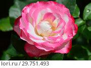 Купить «Роза чайно-гибридная Ностальжи (Ностальгия, TANeiglat, La Garconne), (лат. Nostalgie). Rosen Tantau, Германия 1995», эксклюзивное фото № 29751493, снято 28 августа 2015 г. (c) lana1501 / Фотобанк Лори
