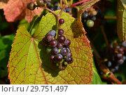 Купить «Желто-зеленые листья винограда с ягодами», эксклюзивное фото № 29751497, снято 26 августа 2015 г. (c) lana1501 / Фотобанк Лори