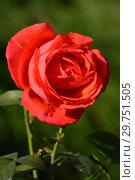 Купить «Роза чайно-гибридная Прайд оф Скотланд (Прайд оф Скотланд, Гордость Шотландии, MACwhitba, Massey University) (лат. Pride Of Scotland)  McGredy, Великобритания 2003», эксклюзивное фото № 29751505, снято 26 августа 2015 г. (c) lana1501 / Фотобанк Лори