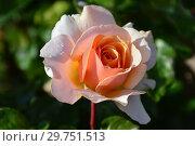 Купить «Роза чайно-гибридная Шимэн (Шимен, Sue Hipkin, HARzazz, Lady Jane Grey, Sue Hipken, Sweet Revelation), (лат. Rosa Chimene). Harkness, Великобритания 1998», эксклюзивное фото № 29751513, снято 16 августа 2015 г. (c) lana1501 / Фотобанк Лори