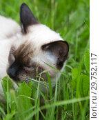 Купить «Short haired young cat, seal point color chews a green grass», фото № 29752117, снято 24 июня 2017 г. (c) Вознесенская Ольга / Фотобанк Лори