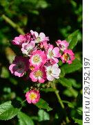 Купить «Мускусная роза Моцарт (Rosa Mozart). P. Lambert, Германия 1937», эксклюзивное фото № 29752197, снято 24 августа 2015 г. (c) lana1501 / Фотобанк Лори