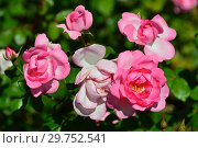 Купить «Роза флорибунда (floribunda) Сантэнер дэ Лурд (Сантенэр де Лурдес, (DELge, Mrs. Jones), (лат. Rosa Centenaire de Lourdes). Delbard-Chabert, Франция 1958», эксклюзивное фото № 29752541, снято 24 августа 2015 г. (c) lana1501 / Фотобанк Лори