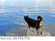 Купить «Lapponian herder (Lapinporokoira or Lapp Reindeer dog or Lapsk Vallhund)  is waiting for owner. Finnish Lapland», фото № 29753773, снято 13 июля 2018 г. (c) Валерия Попова / Фотобанк Лори