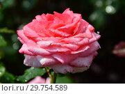 Купить «Роза чайно-гибридная Артур Рембо (Артур Рэмбо, Meihylvol), (лат. Rosa Arthur Rimbaud). Meilland, France 2008», эксклюзивное фото № 29754589, снято 7 августа 2015 г. (c) lana1501 / Фотобанк Лори