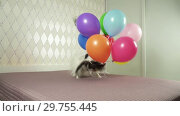 Купить «Papillon dog runs with a multicolored balloons in his teeth slow motion stock footage video», видеоролик № 29755445, снято 16 января 2019 г. (c) Юлия Машкова / Фотобанк Лори
