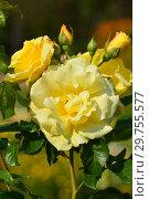 Купить «Роза чайно-гибридная Ландора (Sunblest). Tantau, Германия 1970», эксклюзивное фото № 29755577, снято 26 августа 2015 г. (c) lana1501 / Фотобанк Лори