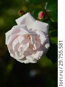 Купить «Роза плетистая Нью Доун (Нью Даун, Everblooming Dr. W. Van Fleet, The New Dawn), (лат. Rosa New Dawn). Somerset Rose Nursery, США 1930», эксклюзивное фото № 29755581, снято 26 августа 2015 г. (c) lana1501 / Фотобанк Лори