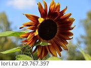 Декоративный подсолнечник Вечернее солнце. Стоковое фото, фотограф lana1501 / Фотобанк Лори