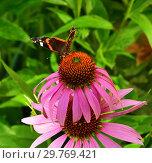 Купить «butterfly sits on a pink Echinacea flower», фото № 29769421, снято 21 июля 2018 г. (c) Володина Ольга / Фотобанк Лори