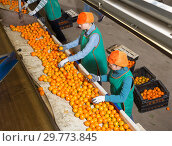 Купить «Two focused women working on citrus sorting line», фото № 29773845, снято 15 декабря 2018 г. (c) Яков Филимонов / Фотобанк Лори