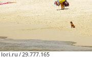 Купить «Toy-terrier on the sandy beach», видеоролик № 29777165, снято 20 января 2019 г. (c) Игорь Жоров / Фотобанк Лори