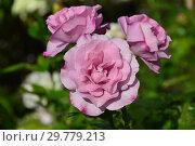 Купить «Цветок чайно-гибридной розы Муди Блю (Rosa Moody Blue), Fryer's Roses (Фраер), Великобритания 2008», эксклюзивное фото № 29779213, снято 16 августа 2015 г. (c) lana1501 / Фотобанк Лори
