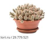 Купить «Маммиллярия побегоносная Mammillaria prolifera», фото № 29779521, снято 16 ноября 2018 г. (c) Юлия Бабкина / Фотобанк Лори