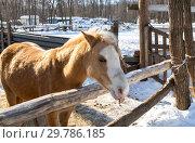 Купить «Beautiful young horse at the farm in winter sunny day», фото № 29786185, снято 11 марта 2018 г. (c) FotograFF / Фотобанк Лори
