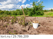 Купить «Freshly dug potatoes in metal bucket and shovel at the vegetable garden in sunny day», фото № 29786209, снято 20 августа 2014 г. (c) FotograFF / Фотобанк Лори