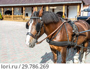 Купить «Beautiful brown horse in harness», фото № 29786269, снято 11 июня 2018 г. (c) FotograFF / Фотобанк Лори