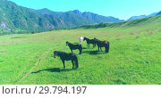 Купить «Flight over wild horses herd on meadow. Spring mountains wild nature. Freedom ecology concept.», видеоролик № 29794197, снято 15 ноября 2017 г. (c) Александр Маркин / Фотобанк Лори