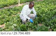Купить «Experienced male farmer controlling process of growing of Malabar spinach in glasshouse», видеоролик № 29794489, снято 18 сентября 2018 г. (c) Яков Филимонов / Фотобанк Лори