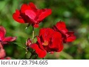Купить «Роза ругоза Ред Ругостар (Magseed), (лат. Red Rugostar). Moor/Meilland, США/Франция 1995», эксклюзивное фото № 29794665, снято 7 августа 2015 г. (c) lana1501 / Фотобанк Лори
