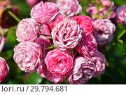 Купить «Роза флорибунда Помпонелла (KORpompan, Pomponella Fairy Tale), (лат. Rosa Pomponella). W.Kordes & Sohne, Germany 2005», эксклюзивное фото № 29794681, снято 7 августа 2015 г. (c) lana1501 / Фотобанк Лори
