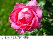 Роза чайно-гибридная Кипсейк, Эсмеральда (KORmalda, Rose Esmeralda), (лат. Keepsake, Esmeralda). W. Kordes & Sons, Germany 1981. Стоковое фото, фотограф lana1501 / Фотобанк Лори