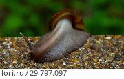Купить «Garden snail crawling on pavement», видеоролик № 29797097, снято 27 января 2019 г. (c) Игорь Жоров / Фотобанк Лори