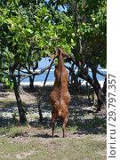 Купить «Коза стоит на задних ногах и жует листья дерева», фото № 29797357, снято 20 мая 2015 г. (c) Светлана Колобова / Фотобанк Лори