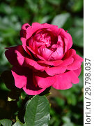 Купить «Роза чайно-гибридная Шарлотта Рэмплинг (Щарлот Рамплинг, MEIhirvin, MEIrvin, Thomas Barton), (лат. Rosa Charlotte Rampling). Meilland International, Франция 1988», эксклюзивное фото № 29798037, снято 4 августа 2015 г. (c) lana1501 / Фотобанк Лори