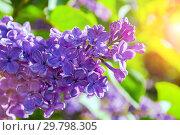 Купить «Lilac flowers in sunny springtime garden, spring flower background», фото № 29798305, снято 15 июня 2017 г. (c) Зезелина Марина / Фотобанк Лори