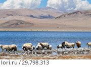 Купить «Овцы пасутся  на берегу озера Гоманг в Тибете летом в облачный день», фото № 29798313, снято 6 июня 2018 г. (c) Овчинникова Ирина / Фотобанк Лори