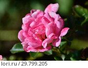 Купить «Роза миниатюрная Флирт 2011 (лат. Flirt 2011, KO 99/223-06, KORchakon, The Hilda Ogden Rose). W.Kordes Sohne (Кордес), Германия 2011», эксклюзивное фото № 29799205, снято 4 августа 2015 г. (c) lana1501 / Фотобанк Лори