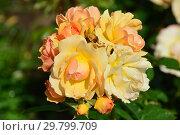 Купить «Роза флорибунда Хансештадт Росток (Хансэштадт Росток, RT 04-603, Mythique, Tan04603, Quuen Bee), (лат. Rosa Hansestadt Rostock). Tantau, Германия 2010», эксклюзивное фото № 29799709, снято 7 августа 2015 г. (c) lana1501 / Фотобанк Лори