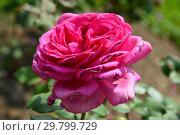 Роза чайно-гибридная Дуфтрауш (Дуфтраш, TANschaubud, Old Fragrance, Senteur Royale, Duftrausch 86, Olde Fragrance), (лат. Duftrausch). Rosen Tantau, Германия 1986. Стоковое фото, фотограф lana1501 / Фотобанк Лори