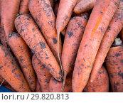 Купить «Натуральная морковь нового урожая с остатками грунта», фото № 29820813, снято 19 августа 2018 г. (c) Вячеслав Палес / Фотобанк Лори