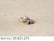 Little ghost crab crawls out of a hole in sand, Southeast Asia, Cambodia. Стоковое фото, фотограф Юлия Бабкина / Фотобанк Лори
