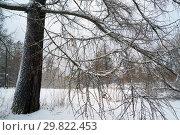 Купить «The branches of larch trees covered with snow .Winter landscape. Russia, Leningrad region.», фото № 29822453, снято 26 декабря 2018 г. (c) Алексей Маринченко / Фотобанк Лори
