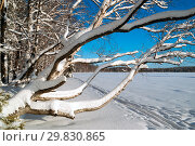 Купить «Bent birch in the snow .Winter landscape . Russia.Leningrad region.», фото № 29830865, снято 24 января 2019 г. (c) Алексей Маринченко / Фотобанк Лори