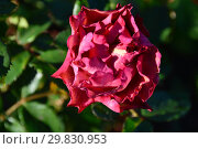 Купить «Роза флорибунда Жан Кокто (MEIkokan, Charleston, Tequila Supreme), (лат. Jean Cocteau). Meilland, France 2009», эксклюзивное фото № 29830953, снято 31 августа 2015 г. (c) lana1501 / Фотобанк Лори