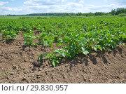 Купить «Растущий картофель на поле», фото № 29830957, снято 27 июня 2018 г. (c) Елена Коромыслова / Фотобанк Лори