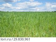 Купить «Зеленое овсяное поле летним солнечным днем», фото № 29830961, снято 27 июня 2018 г. (c) Елена Коромыслова / Фотобанк Лори
