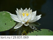 Купить «Многолетнее водное растение Кувшинка белая (Водная лилия), (лат. Nymphaea alba)», эксклюзивное фото № 29831069, снято 6 августа 2015 г. (c) lana1501 / Фотобанк Лори
