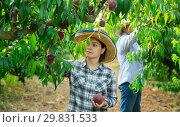 Купить «Woman in hat picking fresh peaches in garden, man on background», фото № 29831533, снято 11 июля 2018 г. (c) Яков Филимонов / Фотобанк Лори
